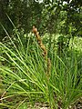 Carex paniculata plant (11).jpg