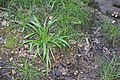 Carex strigosa kz16.jpg