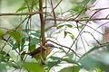 Carolina wren (24985050625).jpg