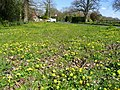 Carpet of celandine - geograph.org.uk - 862204.jpg