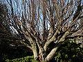 Carpinus betulus Phipps.JPG