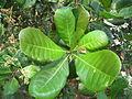 Cashew Nut Tree - കശുമാവ് 05.JPG