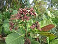 Cashew Nut Tree - കശുമാവ് 08.JPG