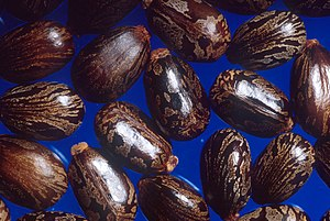 Elaiosome - Carunculate seeds of Ricinus communis (Castor beans)