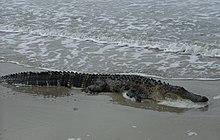 Intrepid Alligator Enjoying The Surf