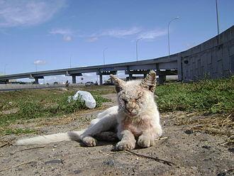 Cat health - An abandoned near-white cat suffering from illness in Feira de Santana, Brazil.