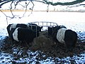 Cattle at Crackley - geograph.org.uk - 1651155.jpg