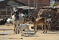 Cattle in Patan.jpg