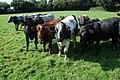 Cattle in a field at Wellington Heath - geograph.org.uk - 965707.jpg