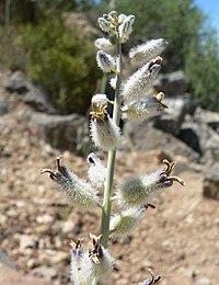 Caulanthus crassicaulis var crassicaulis 11