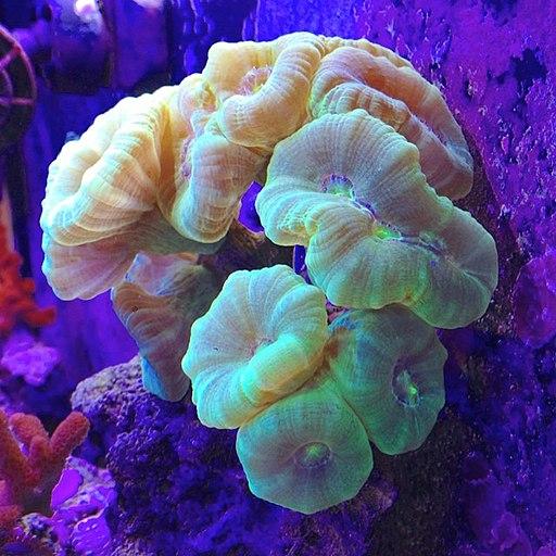 trumpet coral care