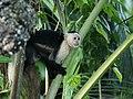 Cebus capucinus (Cahuita).jpg