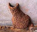 Cecropis cucullata, nes, Preller-huis.jpg