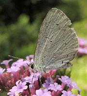 Celastrina Argiolus.jpg