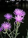 Centaurea maculosa 2-jgreenlee (5097209291).jpg