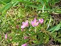 Centaurium pulchellum (Flowers).jpg