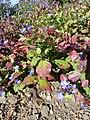 Ceratostigma plumbaginoides 'Hardy Blue-Flowered Leadwart' (Plumbagnaceae) plant.JPG