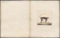 Cercopithecus mona - 1700-1880 - Print - Iconographia Zoologica - Special Collections University of Amsterdam - UBA01 IZ19900110.tif