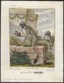 Cercopithecus petaurista - 1700-1880 - Print - Iconographia Zoologica - Special Collections University of Amsterdam - UBA01 IZ19900121.tif