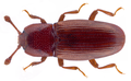 Cerylon ferrugineum Stephens, 1830.png
