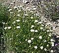 Chaenactis fremontii 3.jpg