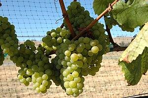 Chardonnay - Chardonnay grapes