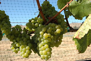 Chardonnay green-skinned grape variety used in wine production