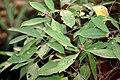 Chassalia curviflora.jpg