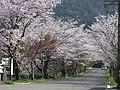 CherryBlossom - panoramio.jpg