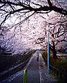 Cherry blossom near Zenpukuji river, Tokyo; July 2006 (02).jpg