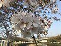 Cherry blossoms near Kogabashi Bridge.jpg