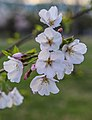 Cherry blossoms on the Washington Monument grounds (d9a586be-c9c2-40e7-9d5e-544a97ae7235).jpg