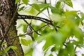 Chestnut-sided warbler (28152876768).jpg