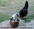Chicken motherhood.jpg