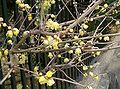 Chimonanthus praecox5.jpg