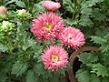 China Aster from Lalbagh flower show Aug 2013 8102.JPG