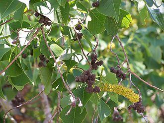 Triadica sebifera - Seed pods
