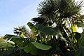 Chinesische Hanfpalme (Trachycarpus fortunei) Japanische Faser-Banane (Musa basjoo) Blumengärten Hirschstetten Wien 2014 c.jpg