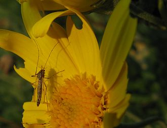 Chironomidae - Chironomidae sp. female on flower of Euryops sp. damage caused by beetles in family Meloidae