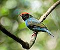 Chiroxiphia caudata -Piraju, Sao Paulo, Brazil -juvenile-8.jpg