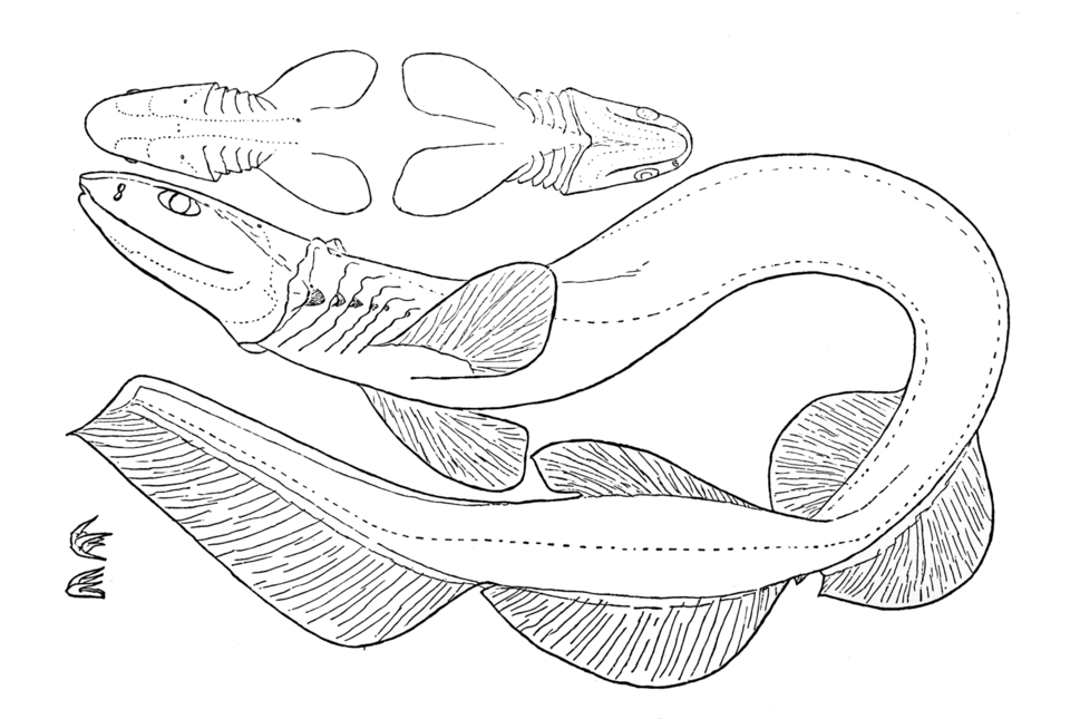 Line drawing of a frilled shark curled on its side, with insets depicting dorsal and ventral views of the head, and of two teeth