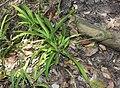 Chlorophytum comosum eastern cape.jpg