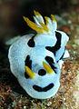 Chromodoris dianae.jpg