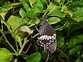Chrysalis and host plant (Lemon ) of of Papilio polytes Linnaeus, 1758 – Common Mormon on.jpg