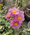 Chrysanthemum 01.jpg