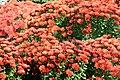 Chrysanthemum Alberta 5zz.jpg