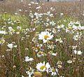 Chrysanthemum leucanthemum fioritura-01.jpg