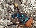 Chrysomya megacephala - Ecology.jpg