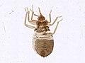 Cimex lectularius (YPM IZ 093691).jpeg