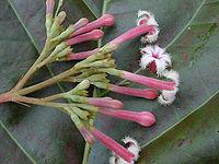 Cinchona.pubescens01.jpg
